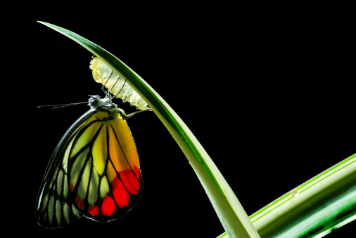 Butterfly emerging